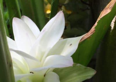 curcuma flower, as big as your hand