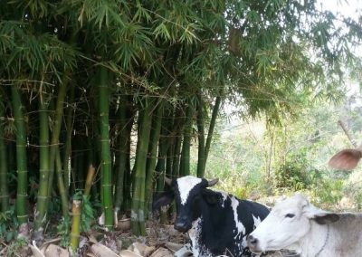happy-cows-in the shade of the bambu