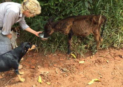 calf could hardly walk, so sick, found her lonely on the dirt road