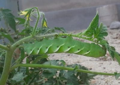 caterpillar 12cm, If you like butterflies, you have to tolerate this in your tomato plants.