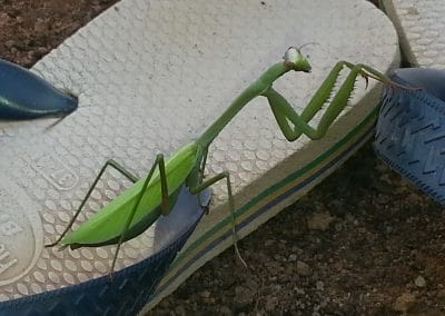 praying mantis, always mind your steps!